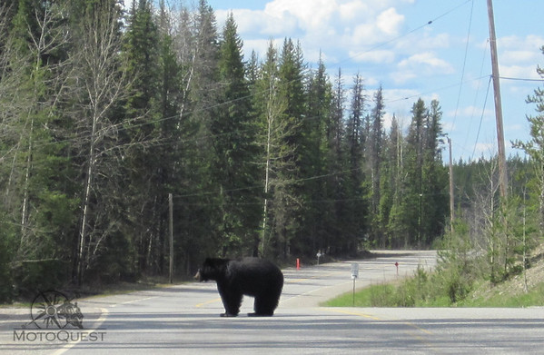 Black Bear in the road