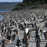 A penguin colony close to Ushuaia